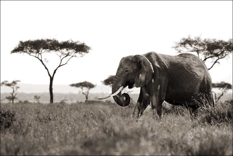 an elephant moves gracefully through the savannah at Maasai Mara National Reserve