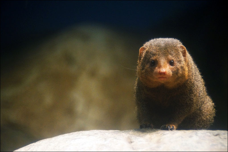 a curious dwarf mongoose says hello