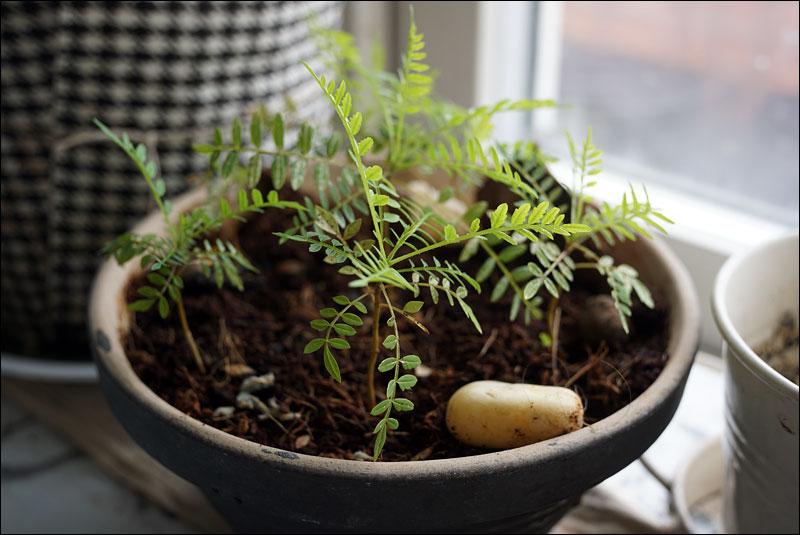 kitchen plant